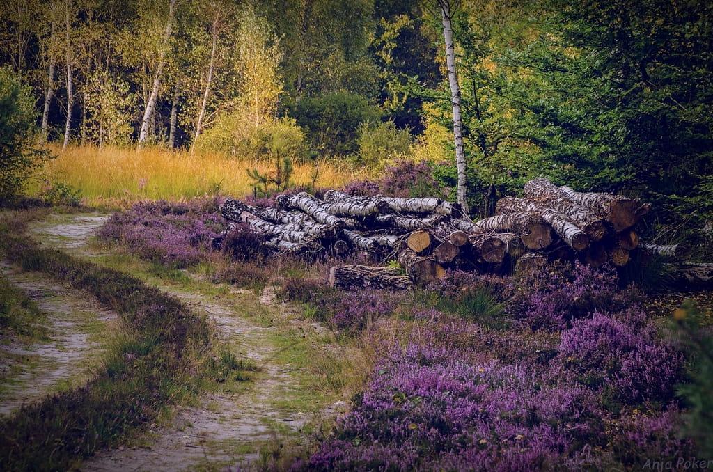 123_Heide_im_Fullener_Wald-1024